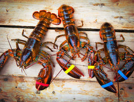 Live Maine Lobsters