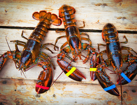 Live Maine Lobsters, , large